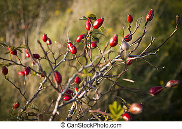 Ripe Briar fruit, wild rose hip shrub in nature. Dog-rose...