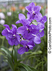 Big sapphirine flower orchids. Beautiful blossoms close-up....