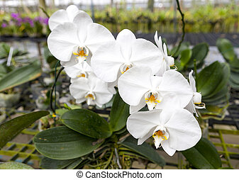 A branch of a large white orchid flower. Beautiful blossoms...