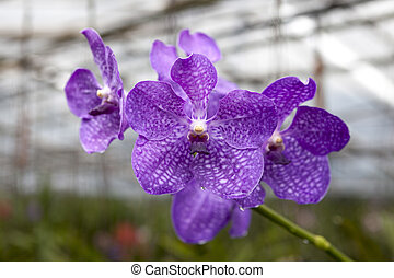Big navy blue flower orchids. Beautiful blossoms close-up....