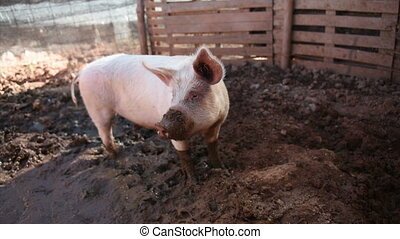 young pig is dirty in the mud
