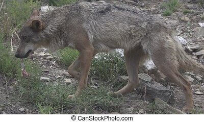 Slow motion of wolf walking with food, flat color - Side...