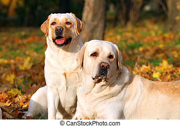 two yellow labradors in the park in autumn