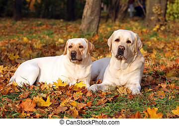 the two cute yellow labradors in the park in autumn