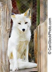 White arctic fox animal portrait zoo photo