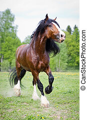 Vladimir draft horse runs gallop on the meadow in summer time