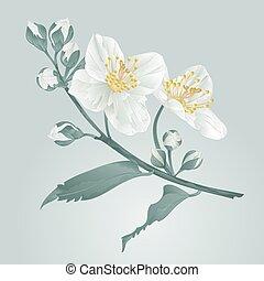 Jasmine flower and buds vintage vector.eps - Twig jasmine...