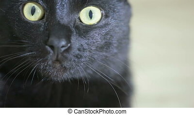 black cat close up. very beautiful cat