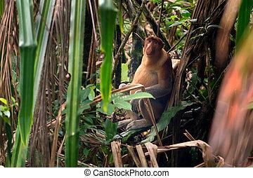 Proboscis monkey in borneo jungle - Proboscis monkey sitting...