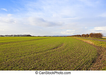 yorkshire wolds wheat crop - a young green wheat crop in...