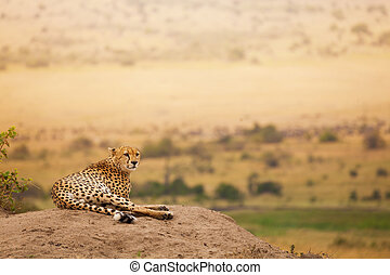 Adult African cheetah laying on the hill - Portrait of adult...