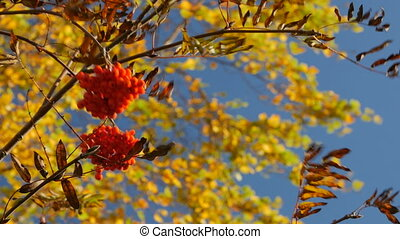 branch with ripe rowan berries in autumn