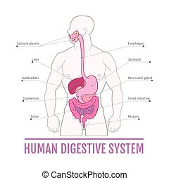medical illustration of the human digestive system. scheme for textbooks.