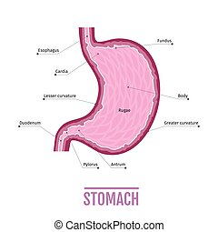medical illustration of the human stomach. scheme for textbooks.