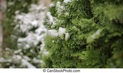 Thuja tree branches covered by snow. first snow - Thuja tree...