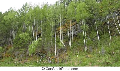 Birch trees on the rocks, the river Serga, Urals, Russia....