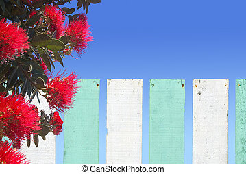 Pohutukawa flowers blossom over wooden fence in New Zealand...