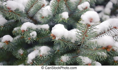 Snow-covered tree branch. pine or spruce. winter -...