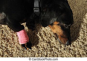 Wrap on Injured Leg of a Dachshund - Pink Bandage Wrap on...