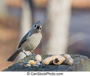 Tufted Titmouse Perched - Tufted Titmouse perched on a...