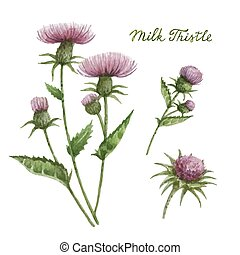 Watercolor vector illustration of milk Thistle. - Watercolor...