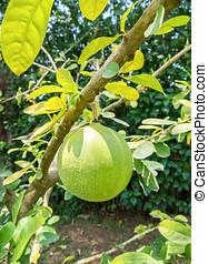 Calabash, Calabash Tree,Wild Calabash,Crescentia...