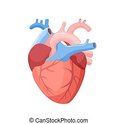 Anatomical Heart Isolated. Muscular Organ in Human -...