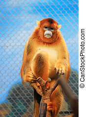 the Golden Snub Monkey 2016 - Ocean Park announced the loss...