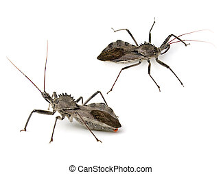 Assassin Bug - A type of Assassin Bug (Reduviidae) called a...
