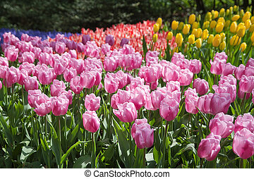 Blooming tulips - Flowerbed with many tulips of different...