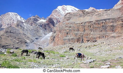 Donkeys grazing in the mountains. Pamir. Tajikistan