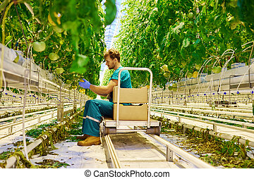 Young attractive man harvesting tomatoes in greenhouse.