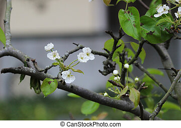 the Japanese ume apricot tree, prunus mume - flower blossoms...