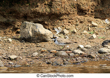 Little ringed plover (Charadrius dubius) on the edge of the...