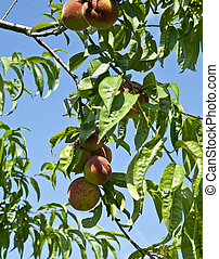 peaches on the tree in the garden