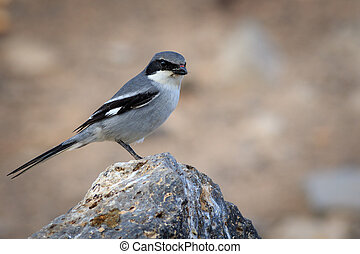 Southern Grey Shrike (Lanius meridionalis) perched on a rock...