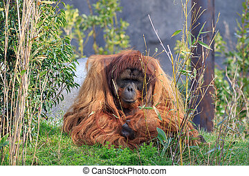 Sumatran orangutang close up on grass