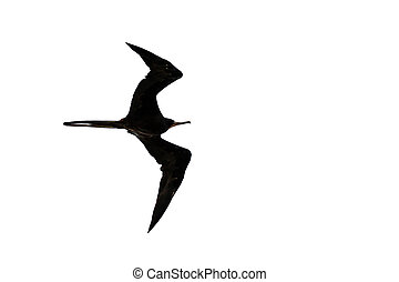 Fregata magnificens - The magnificent frigatebird (Fregata...