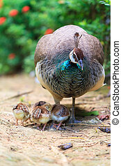 The Indian peafowl (Pavo cristatus) with cute newborn chicks