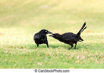 Quiscalus niger - The Greater Antillean grackle (Quiscalus...