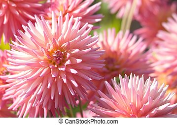 Asters in the Butchart Gardens, Victoria, BC, Canada