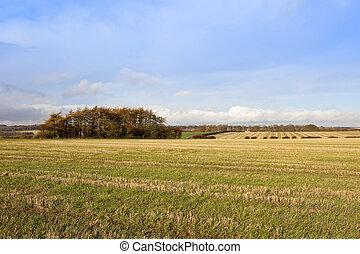 larch copse - an autumnal larch copse near straw stubble...