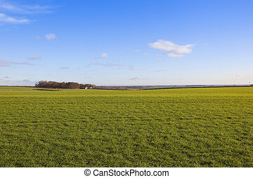 yorkshire wolds wheat - extensive wheat crops in a yorkshire...