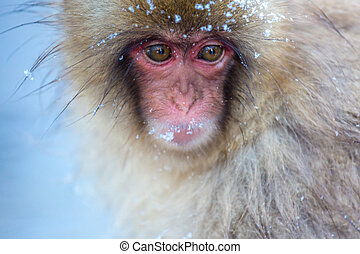 Snow monkey Macaque Onsen - Japanese Snow monkey Macaque in...