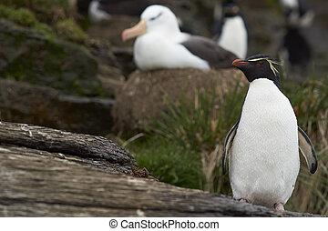 Rockhopper Penguin and Albatross - Rockhopper Penguin...