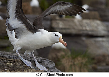 Black-browed Albatross (Thalassarche melanophrys) taking off...