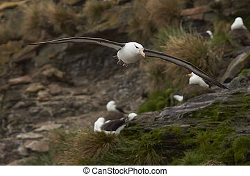 Black-browed Albatross in flight - Black-browed Albatross...