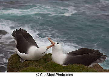 Albatroz, preto-browed,  courting