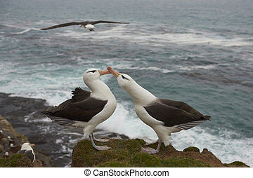 Black-browed Albatross courting - Pair of Black-browed...