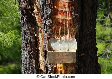 Resin collection, Allonissos - Collecting resin from a pine...